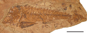 Fish fossil in a rock layer