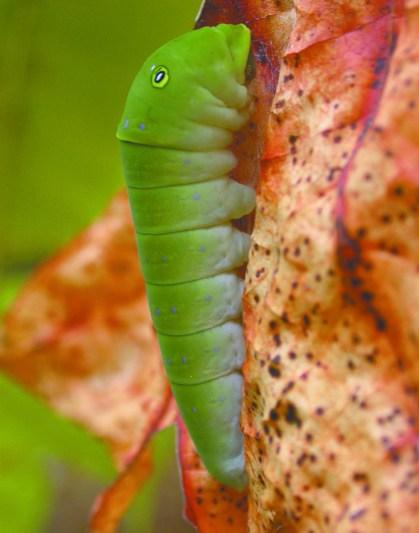 caterpillar1