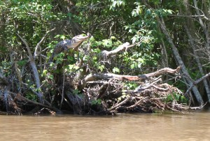 An American alligator perches on a tree branch in Pearl River Delta, Mississippi. Photo credit: Kristine Gingras with permission.