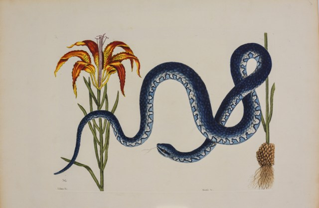 """""""Banded Watersnake and Pine Lily,"""" 1736, by Mark Catesby"""