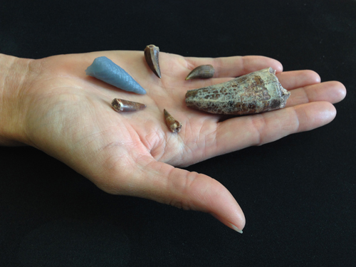 Teeth from phytosaurs, a reptile from the Triassic Period, that lived about 210 million years ago in the western United States, in the hand of Virginia Tech research scientist Michelle Stocker. The gray tooth was 3D printed from CT (computed tomography) scans after being digitally extracted from the thigh bone of a large predatory reptile called a rauisuchid.