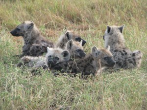Networked hyenas (Photo: Amiyaal Ilany)