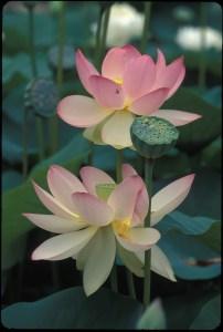 Lotus_0702