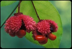 Strawberry-Bush_0324