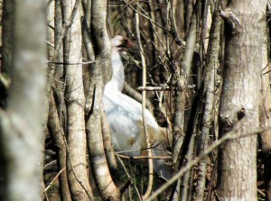 A captive-raised whooping crane in a forest in Louisiana.