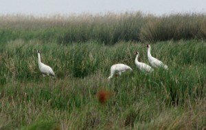 whooping_cranes