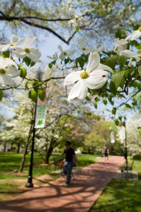 Beauty shot of the dogwood flowers in circle park in the spring