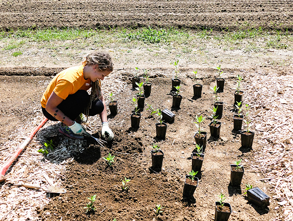 ern Gabby Stewart plants sumpweed, which was a domesticated food plant 4,400 years ago, in the Native American food plant space at UT Gardens.