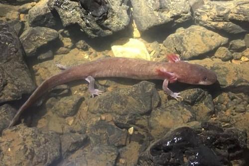 Salamander1500