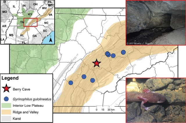 The Berry Cave Salamander can be found in Berry Cave, 45 miles west of Knoxville, in East Tennessee. Map credit to Nicholas Gladstone. Photo credit to Matthew L. Niemiller.