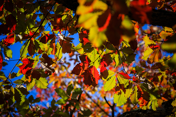 The leaves of a Swamp Chestnut Oak in front of