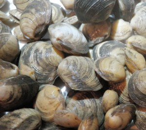 Lucinid clams