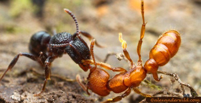Camponotus Nearcticus Is Like A Smaller Shinier Version Of The Big Carpenter Ants This Variable Species Can Be All Black Or Various Combinations Red