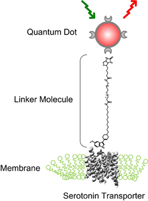 Illustration of how a quantum dot is attached to a serotonin transporter. (Jerry Chang / Vanderbilt)