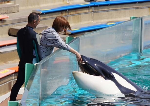 """日本で唯一!水族館でシャチと觸れ合う""""スペシャル體験 ..."""