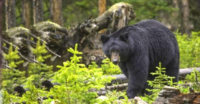 Bear Attack : A man attacked by a bear in the woods
