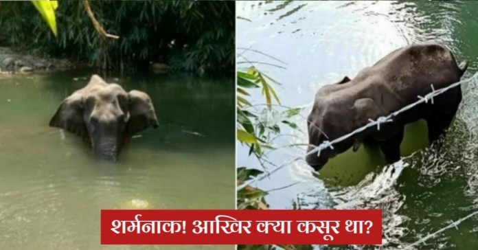 Kerala : Pregnant elephant dies after being fed pineapple stuffed with crackers
