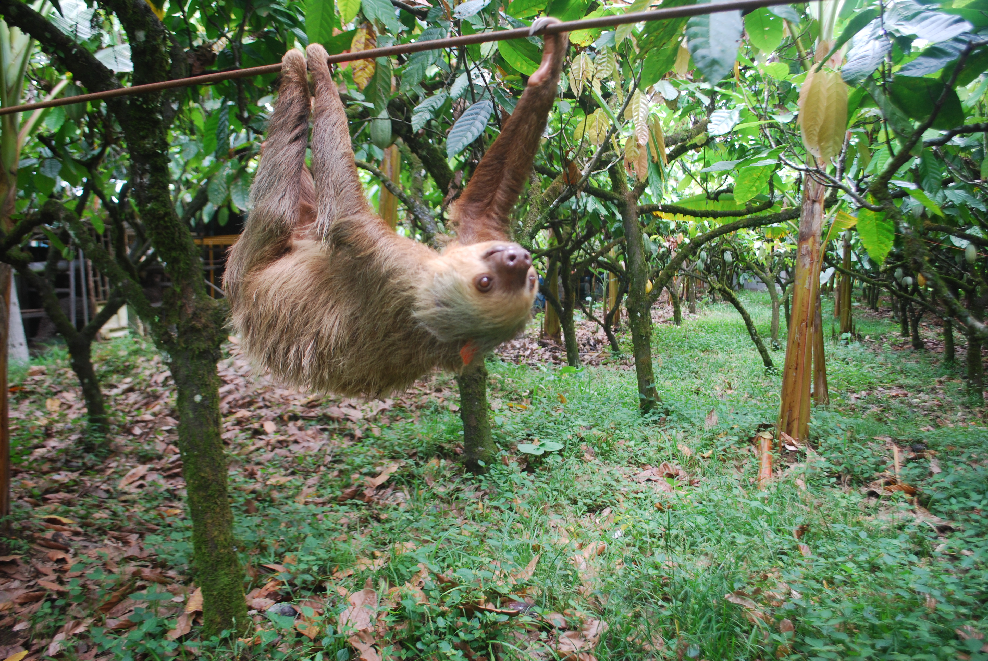 Putting The Sloth In Sloths Arboreal Lifestyle Drives
