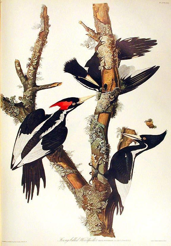welcome ivorybilled woodpecker - 576×829