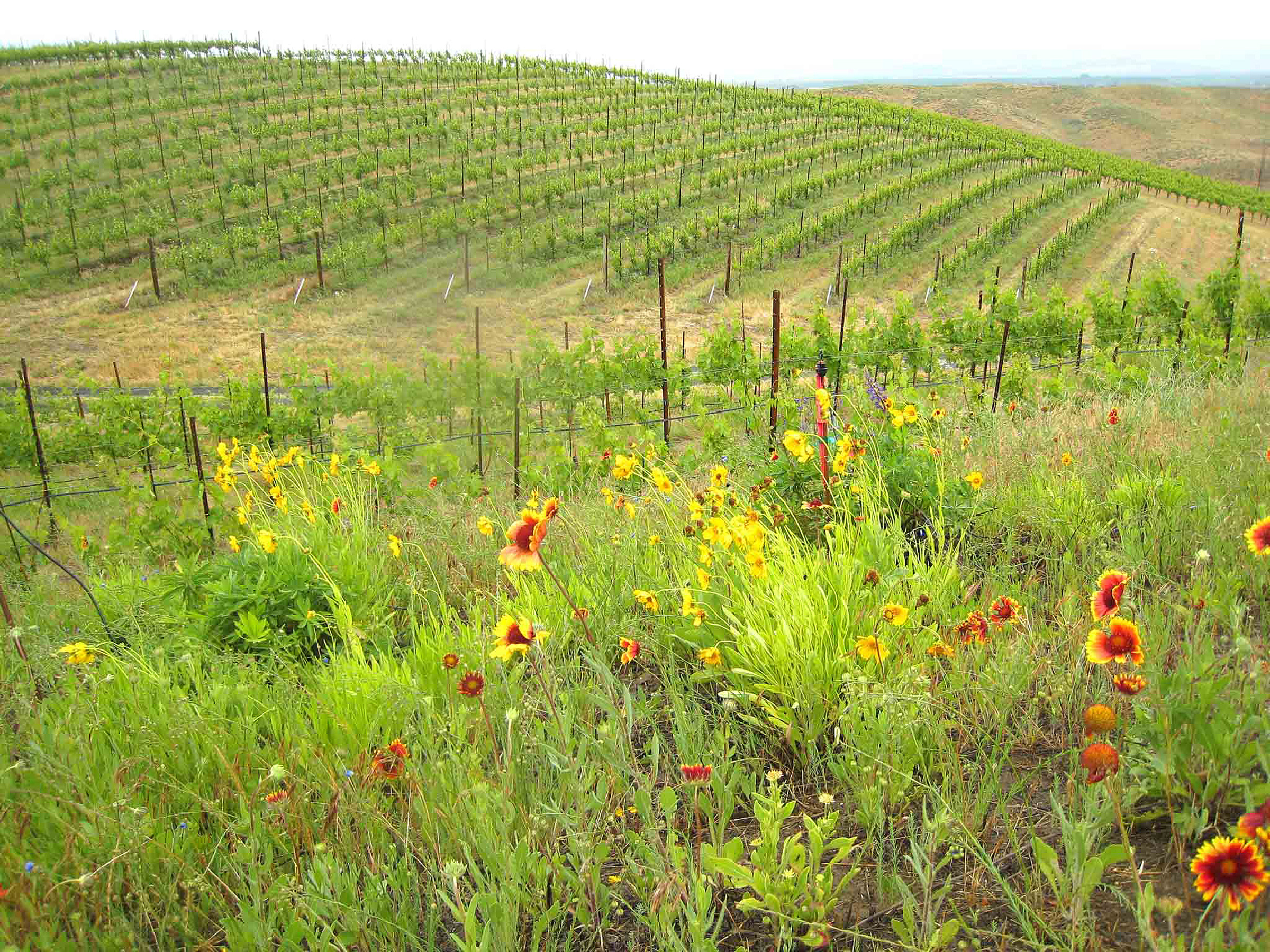 Vineyard Natural Habitats Assist With Butterfly Comeback