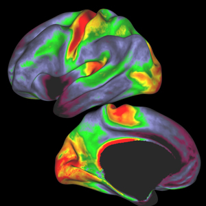 Brain myelin maps