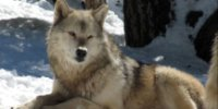 Walnut Creek, CA, Events, Learn about the return of gray wolves to California at the Lindsay Wildlife Museum.