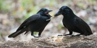 Science, News24-680, Tesla Fong, Pamela S Turner, New Caledonian crows using tools to feed.