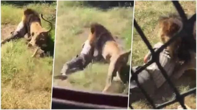Lion attack man