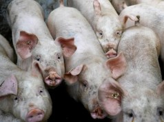 China Swine Fever