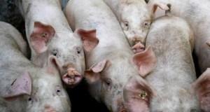 China Swine Fever