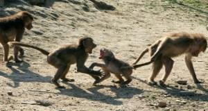 Heatstroke kills monkeys