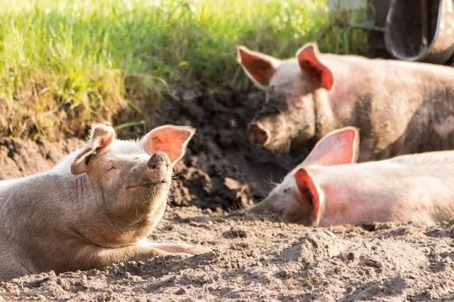 eSwatini bans pig imports