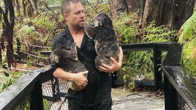 A staff member carrying koalas during a flash flood at the Australian Reptile Park