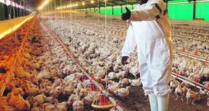 chicken imports tariffs