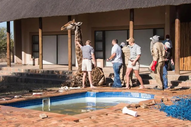 Giraffe rescued after being stuck in a swimming pool