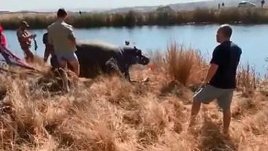 Fourways Hippo finally caught