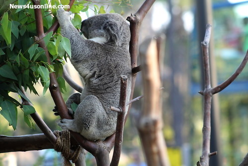 The Koala is on full display as part of the Australian Outback  exhibit at the San Diego Zoo. Photo Credit: Dennis J. Freeman/News4usonline.com
