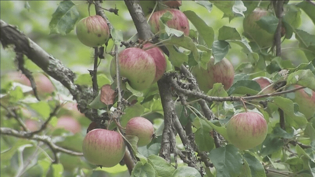 Washington state apple exports drop substantially in 2020-21