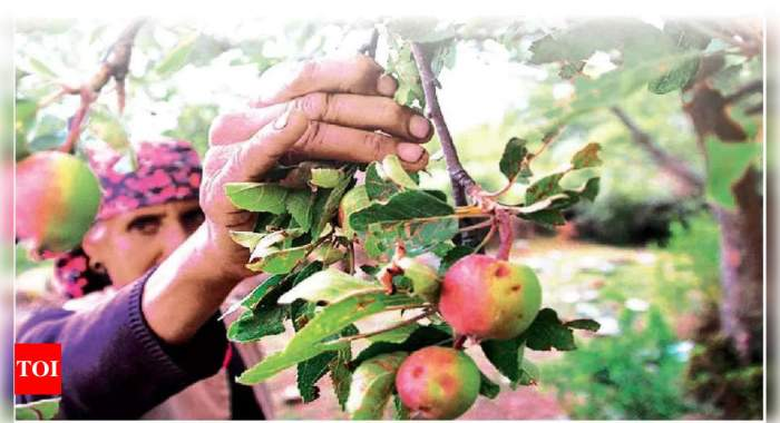 Why are apple farmers in Himachal reaping bitter fruits? | Chandigarh News – Times of India