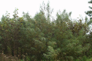 Willow before being harvested for use for wood heating