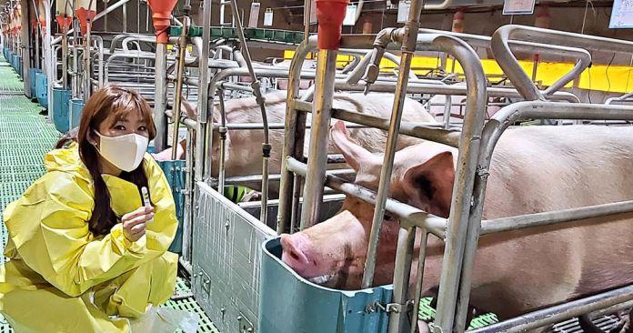 uLikeKorea-develops-early-detection-kit-of-swine-fever