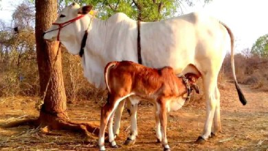 Photo of Why most of Hindus in India don't eat beef? Here's why