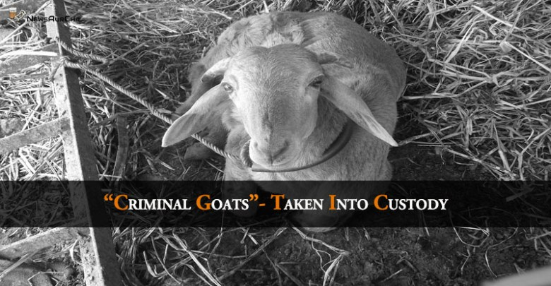 """Criminal Goats"" - Taken Into Custody"