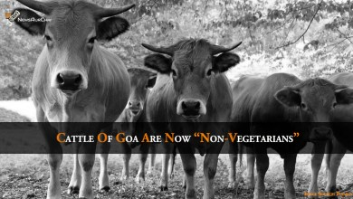"Photo of Cattle of Goa Are Now ""Non-Vegetarians"""