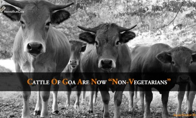 """Cattles of Goa Are Now """"Non-Vegetarians"""""""