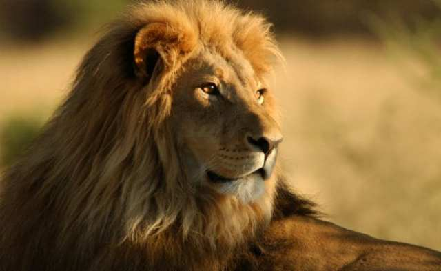 गुजरात में 2 साल में 313 शेरों की मौत: मंत्री ने बताई विधानसभा