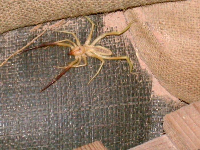 Camel Spider Camel Spider Bites Pictures