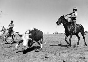 Cowboys roping steer