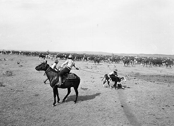 Cowboys roping calf