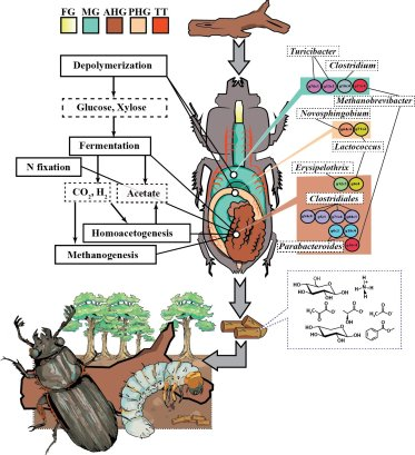 A diagram of the passalid beetle's compartmentalized gut, and the distribution of metabolic processes and microbial composition by compartment.